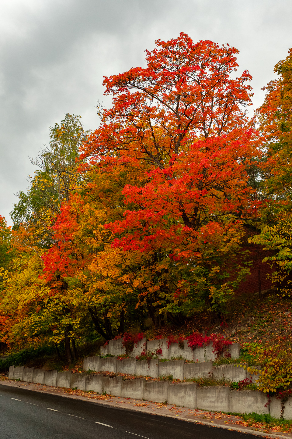 Very colorful mapletrees in Hirvensalo