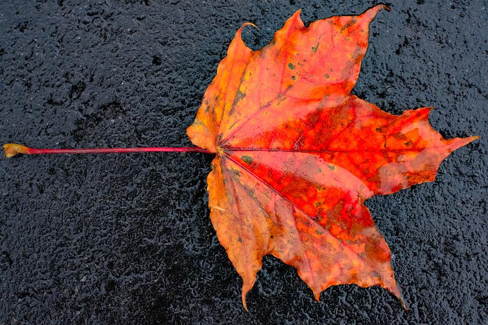 A red maple leaf on wet asphalt