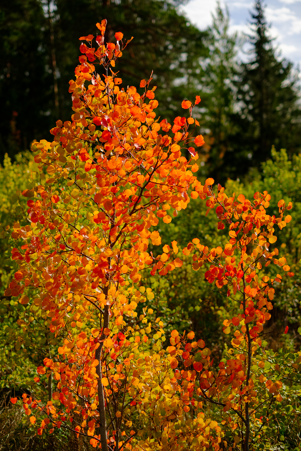 Fall colors on small aspen trees