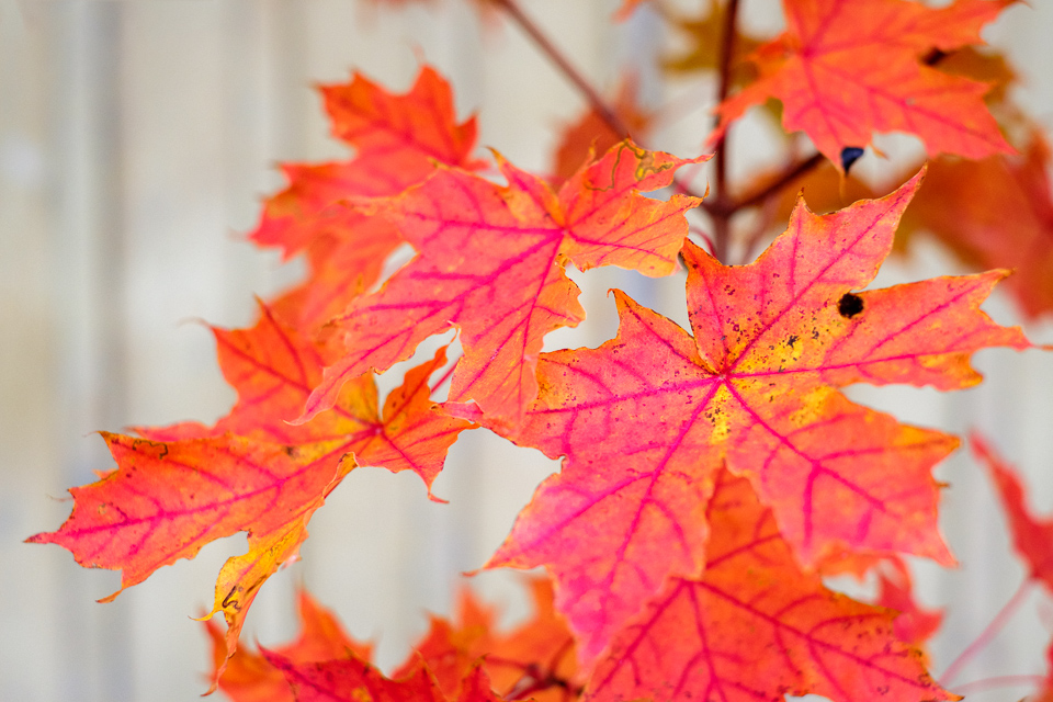 Red and magenta maple leaves