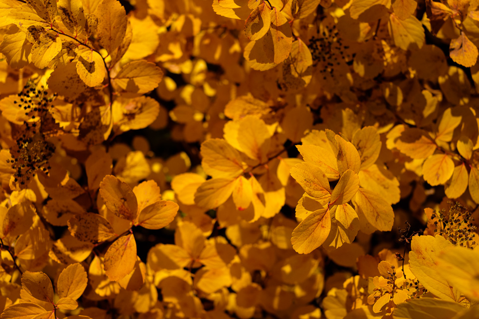 Yellow leaves in soft light.