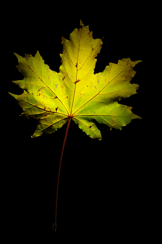 A backlit maple leaf.