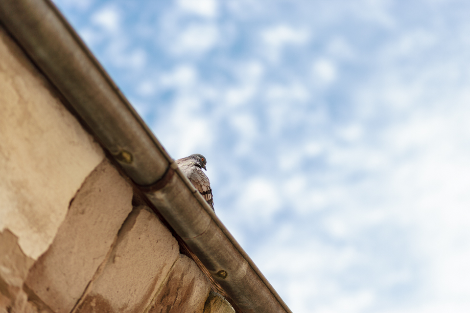 A pigeon watching down from a roof.