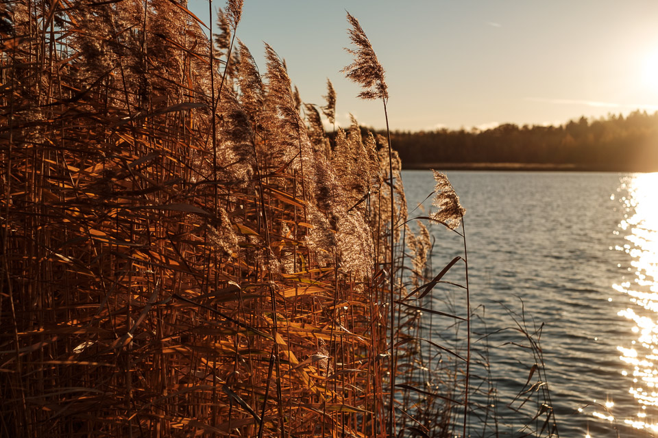 Reeds in the evening sun.