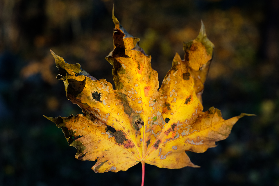 A spotted maple leaf.