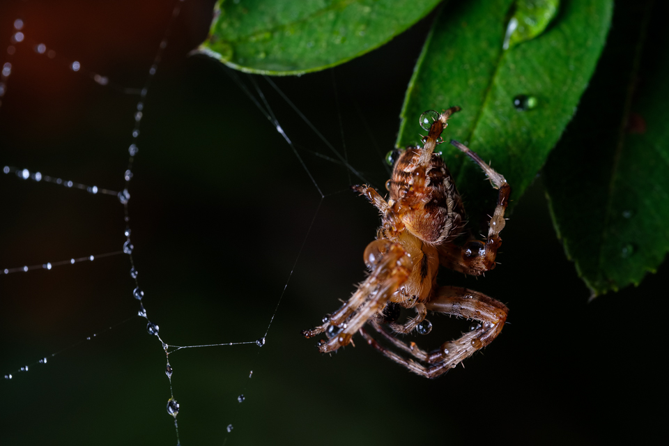 Macro of a spider covered in raindrops on a web
