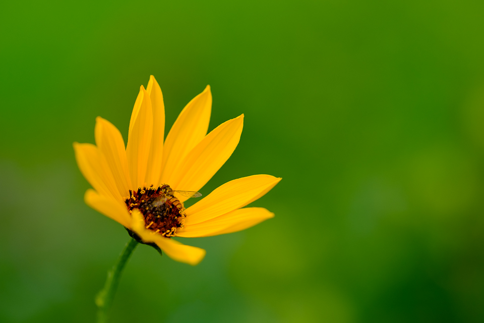 Yellow flower with a hoverfly on it